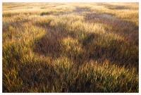 oze-grass2