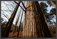 jindai-tree